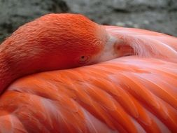 macro photo of pink flamingo cleans feathers