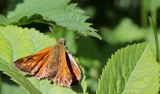 brown butterfly sits on a green leaf