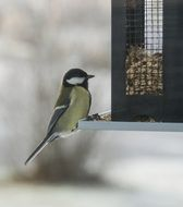 small great tit perched on bird table