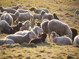 a flock of sheep in a pasture on a farm
