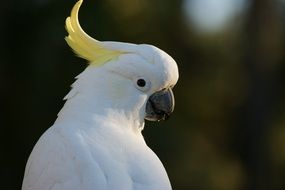 portrait of a sulphur crested cockatoo