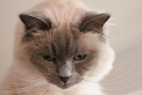 Cat Sacred Birman