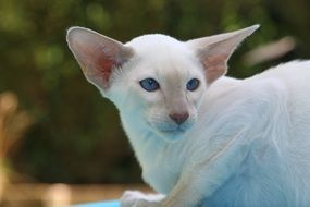 white cat with big ears
