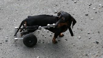 sick dog can go because of wheels