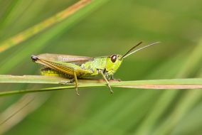 grasshopper on a plant stem in a meadow