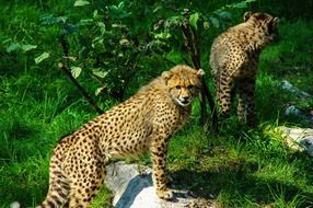cheetah couple in the zoo