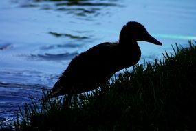silhouette of a duck in the dark