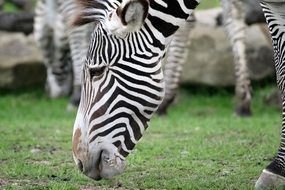 Zebra chews the grass