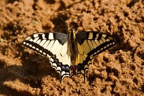 dovetail butterfly on the sand