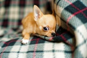 Chihuahua puppy is lying
