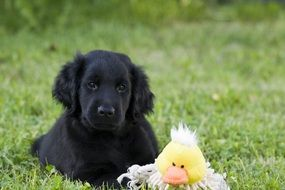 black puppy with a toy on green grass