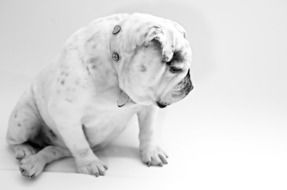 sitting white bulldog