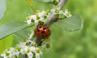 beautiful and cute Sprig Lady Beetle