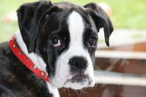 Black And White boxer puppy