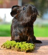 brown guinea pig with smooth fur