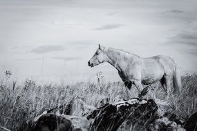 Horse stands on Meadow, black and white