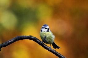 blue tit perched on the branch