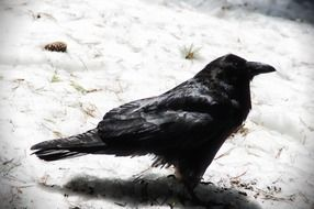 black raven stands on the snow