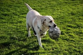 white dog with a ball in mouth