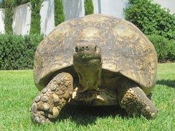 Large Turtle on a grass