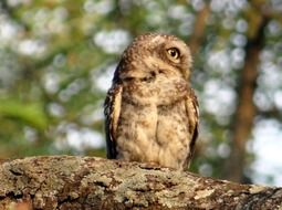 perched spotted owlet in wildlife