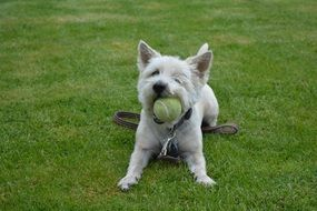 Dog playing with the ball on the grass