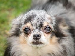 portrait of an old chihuahua