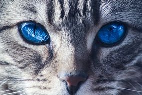 portrait of a gray cat with bright blue eyes