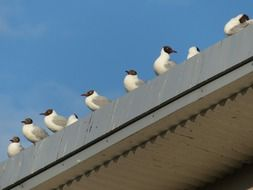 black headed seagulls sitting in row on roof