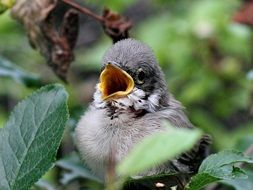 nestling of a sparrow on a bush