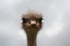 face of a hairy ostrich close up