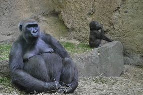 Family of cute gorillas live in the zoo