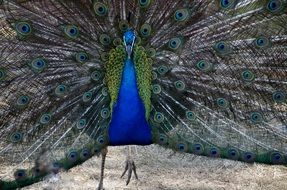 peacock with colorful rich plumage