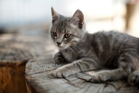 gray cat is resting on a log