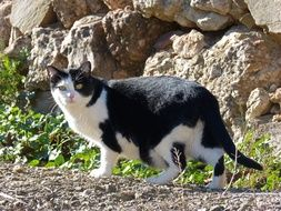 Black And White cat walking at rock