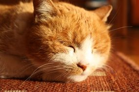 sleeping domestic red cat