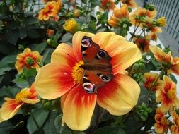 butterfly with eye spots on the flower