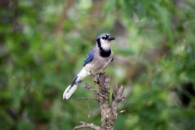 Blue Jay Perched dry tree