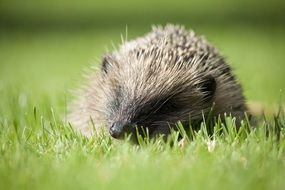 hedgehog among green grass