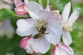 Bee on apple flower