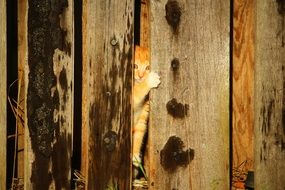 young red kitten in the hiding place