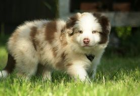 young fluffy border collie