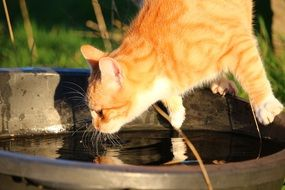 young red tabby cat drinking water