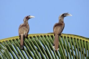 indian grey hornbill on the palm branch
