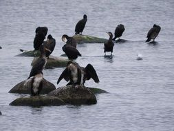 Cormorants on the rocks