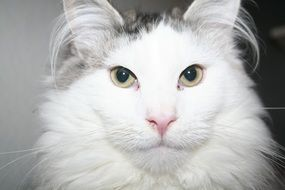 fluffy white Cat, head portrait