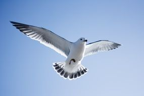 Seagull in the sky with spread wings