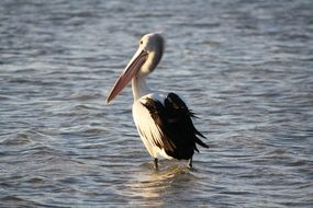 Pelican on the sea beach