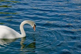 swan is drinking water from a lake