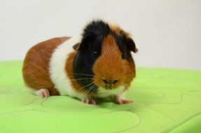 guinea pig on a green towel